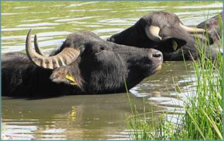 Ausflug Wasserbüffel